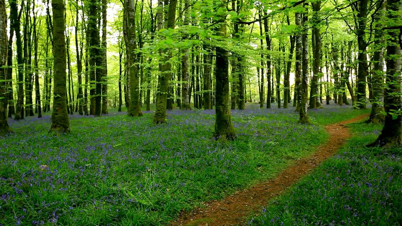 forest of trees with green leaves, grass and lots of blue flowers, a small dirt path