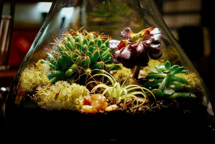 cacti and moss, with green and plum-colored air plants, inside a tear-shaped glass container, filled with dirt and pebbles