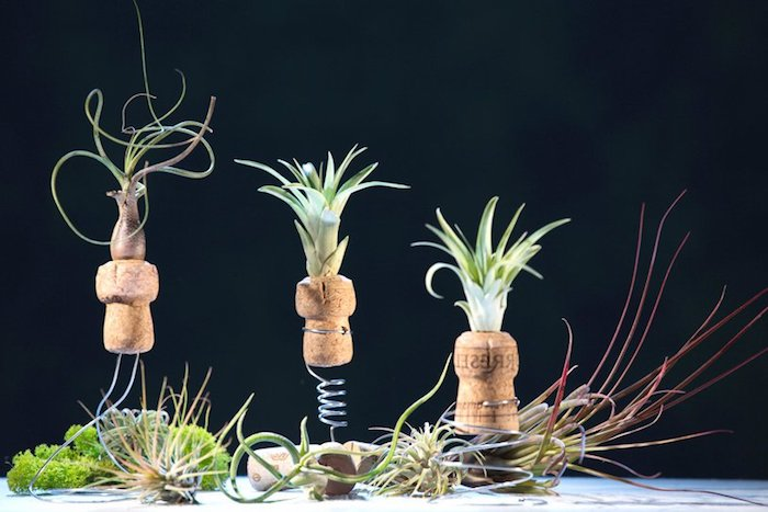 tillandsia care, wire springs and cork bottle stoppers, each with a small air plant on top, various tillandsias all around