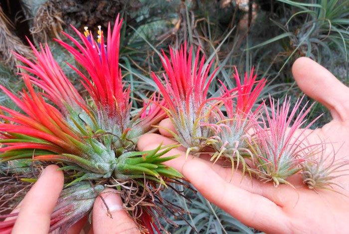 human hands holding several air plants, green with cyclamen pink, or hot pink tips, sharp narrow leaves