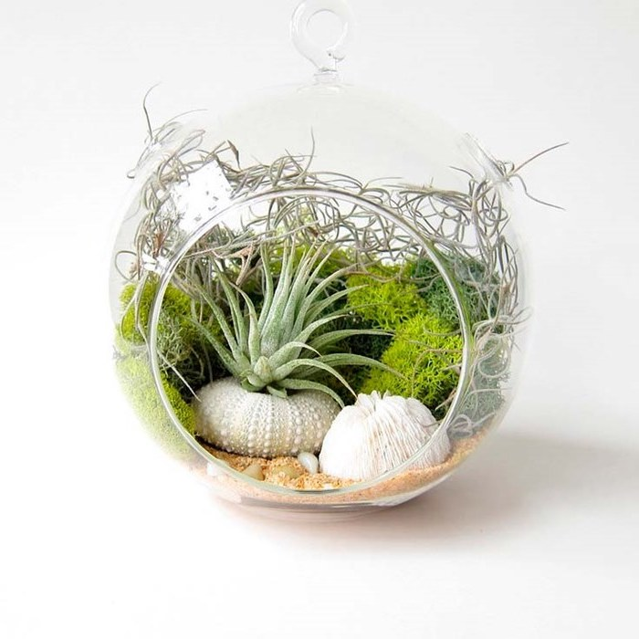 tillandsia and pale green moss, inside a round glass terrarium, with beige sand, and assorted white shells