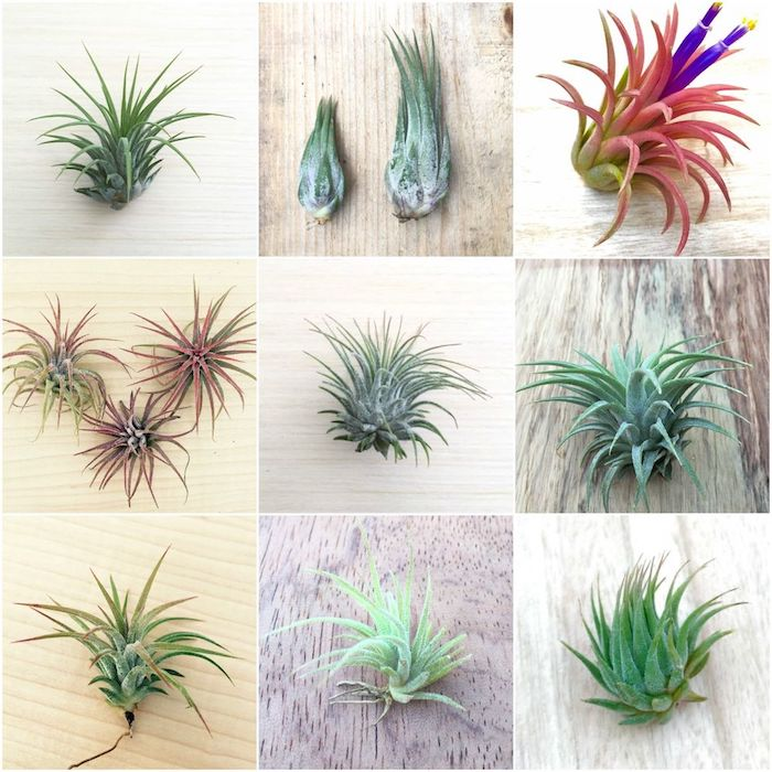 xerographica and other tillandsia varieties, in light and dark green, with reddish and pink hues, and purple blossoms, in nine pictures