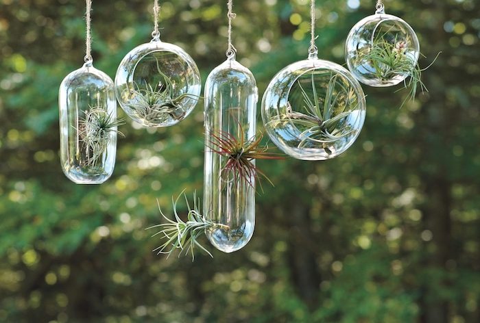transparent oval and round glass containers, hanging terrarium style, with green and reddish tillandsias, hung outside near trees