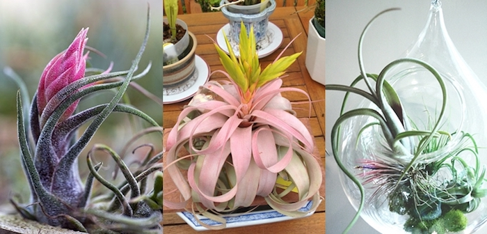 purple and pastel pink leaves, on light and dark green tillandsias, xerographica and other kinds