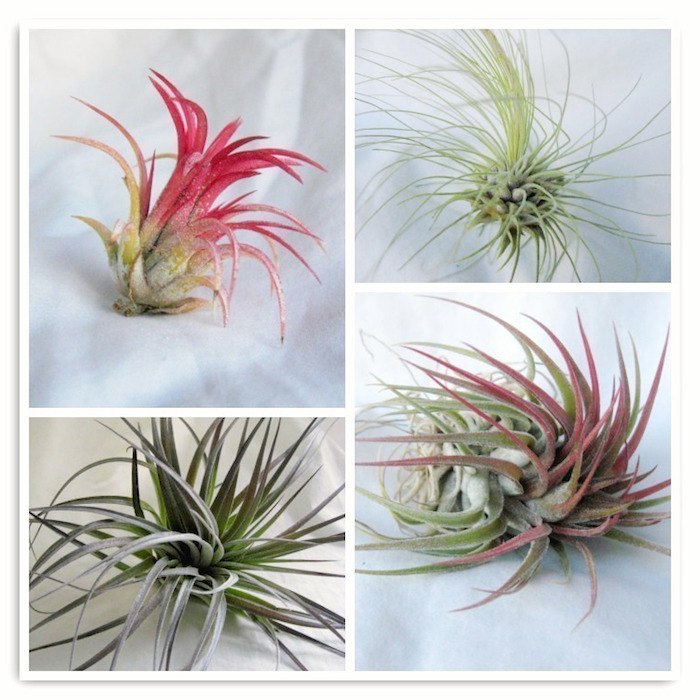 four different kinds of airplants, pale and dark green leaves, with pink tips, on white background