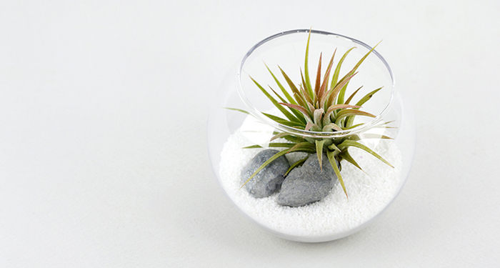 airplants in a fish bowl, made from clear glass, and filled with grainy white sand, and two gray stones