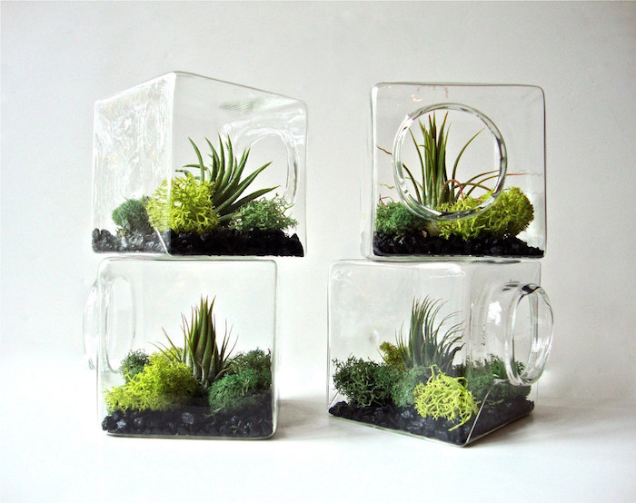 cube-shaped glass containers, with round openings, for tillandsia care, filled with moss, in different shades of green, and air plants