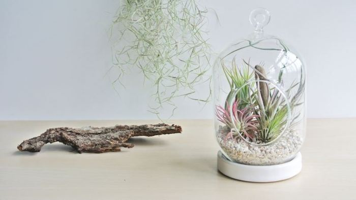 bark from a dried tree, near glass dome with white cap, and round opening, filled with light pebbles, and several tillandsia plants, in light green and pink