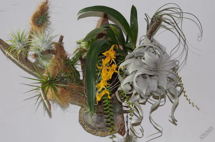 several different tillandsia plants, pale whitish and dark green, with yellow blossoms, hanging air plants, on reclaimed piece of wood, decorated with moss