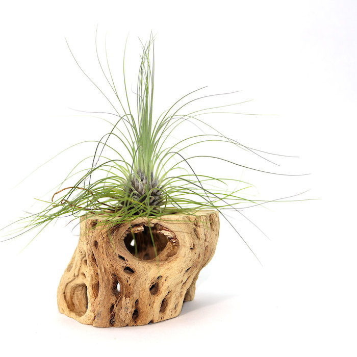 dry piece of wood with holes, green plant inside, narrow and sharp leaves, on white background, air plant terrarium