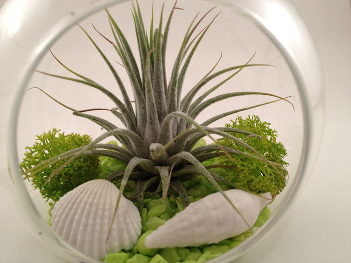 close up of air plants, inside a glass sphere, with circular opening, also containing light green pebbles, two seashells and some moss