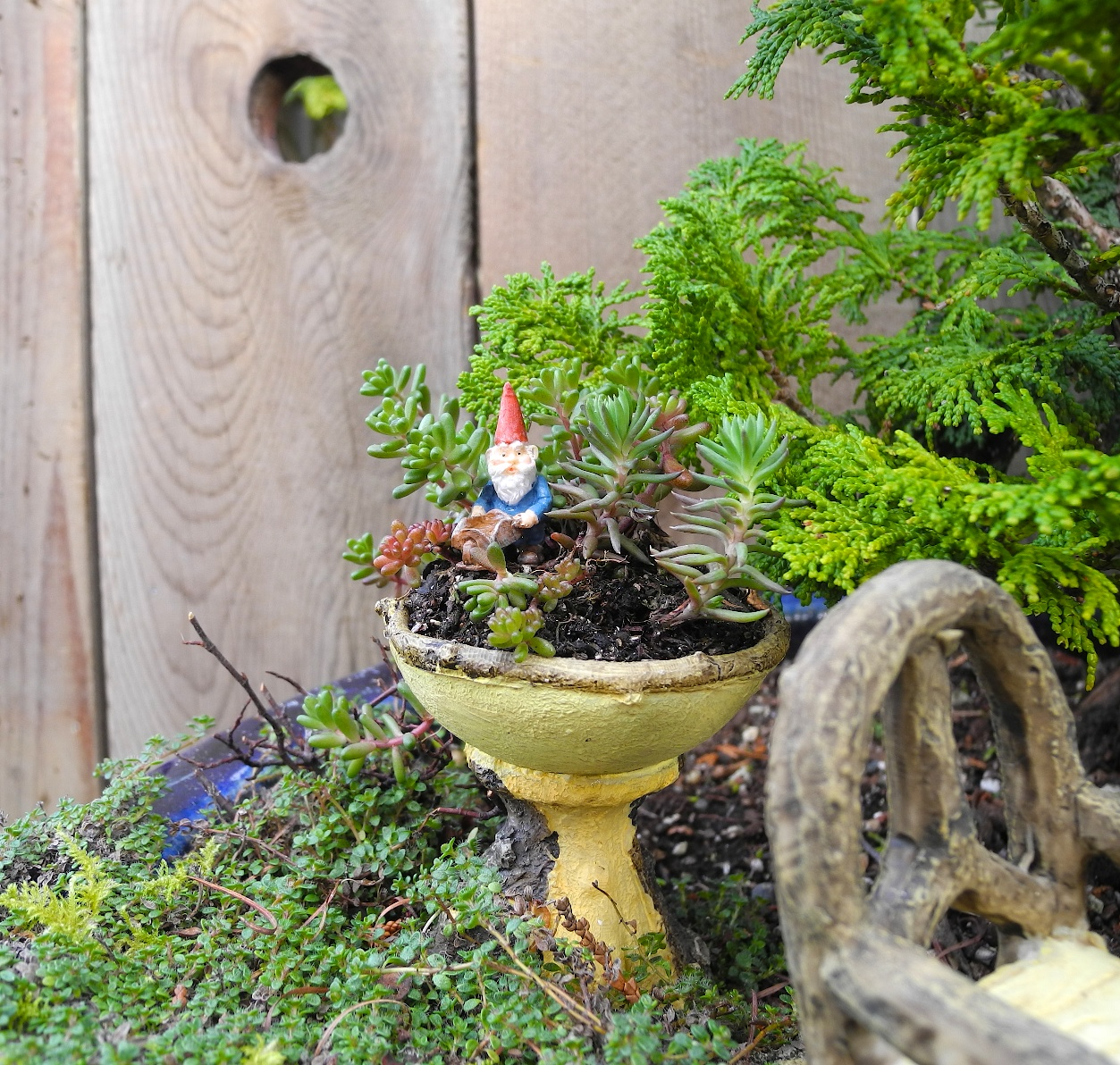 gnome tiny figurine, inside a miniature yellow ceramic dish, seen in close up, succulent fairy garden, placed in a large pot with different plants and ornaments