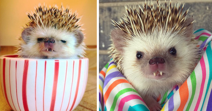 sharp pointed teeth, on a tiny baby hedgehog, pet ideas, sitting inside a large withe mug, with red stripes, wrapped in a striped multicolored blanket