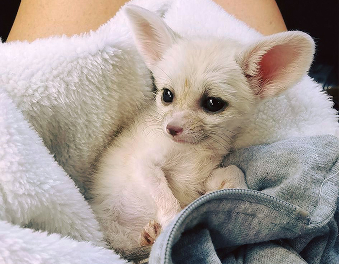 cute baby fennec fox, with white fur, and large black eyes, exotic pets, laying on a fluffy white and pale grey hoodie