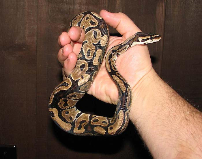 exotic pets list, man's hand holding a small ball python snake, with light and dark brown scales, dark wooden surface in the background