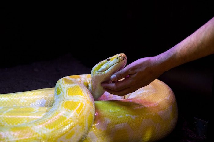 outstretched arm petting a large, adult banana ball python, under the chin, exotic animals as pets, empty dark space