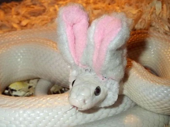 easter costume for a snake, fluffy white and pink, plush bunny ears, worn by a large white snake, exotic animals as pets, inside a terrarium