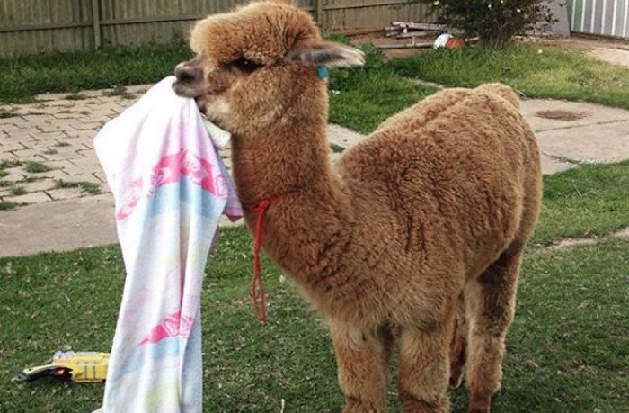 towel or blanket, in pale pink and baby blue, held by the mouth of a fluffy baby alpaca, with brown fur, unusual pets, standing in a garden