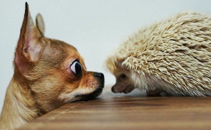 surprised chihuahua dog, staring at a pale yellow adult hedgehog, low maintenance pets for apartments, standing on a wooden surface