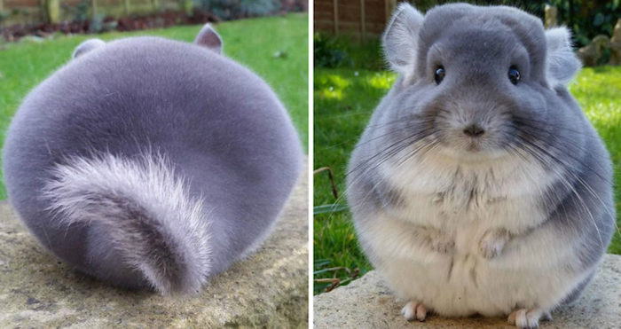 round chubby chinchilla, with soft gray and white fur, exotic animals, seen from the front and the back