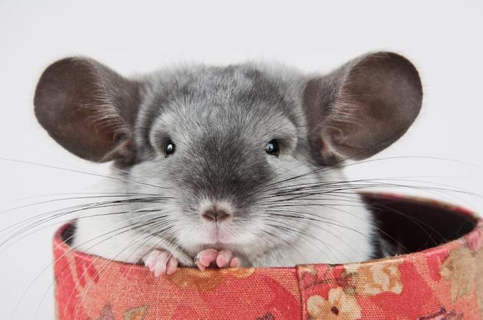 round box covered with red floral fabric, containing a gray chinchilla, exotic pets, with black eyes and whiskers, and large round ears