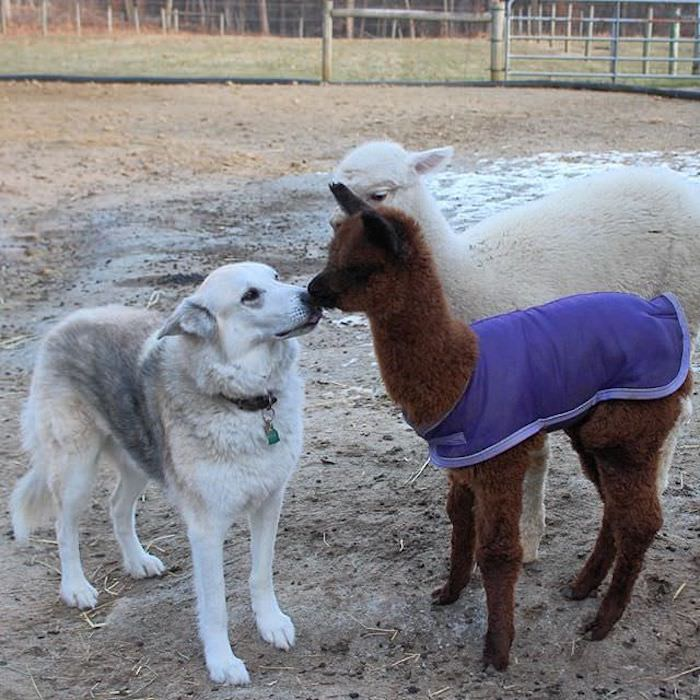 large gray dog, nuzzling a dark brown alpaca foal, wearing a purple blanket, unusual pets, a white alpaca foal stands nearby