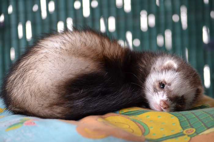 sleepy little ferret, with cream and dark brown fur, low maintenance pets for apartments, laying on a blanket, with a multicolored print