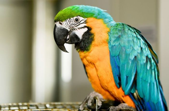 macaw with turquoise, yellow and green, blue and white feathers, best exotic pets, perched on top of its cage