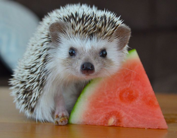 hedgehog pup with light gray fur and quills, leaning on a slice of watermelon, placed on a smooth wooden surface, exotic pets