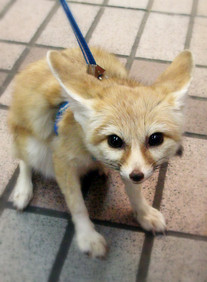 sitting fennec fox, desert fox pet, with yellowish beige coat, pet ideas, led on a dark blue leash, stone tiled floor