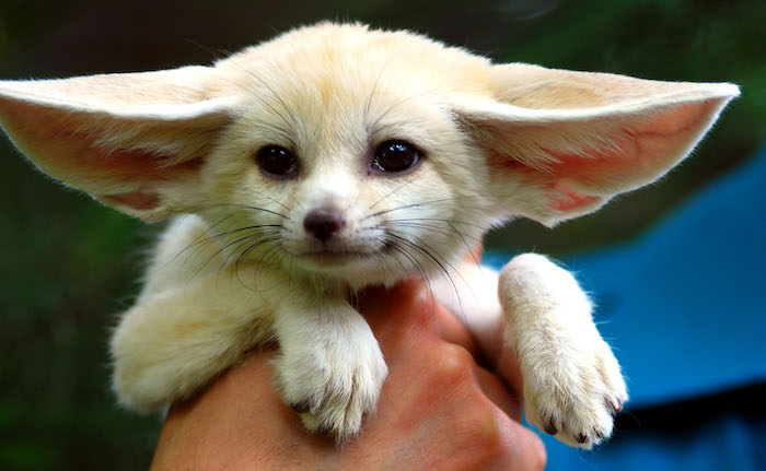exotic pets, fennec fox with pale beige fur, black eyes and nose, and large ears, being held by a person's hand