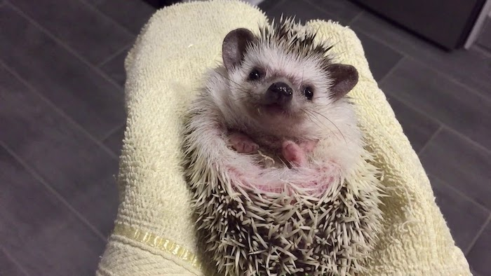 after a bath, a happy looking hedgehog, is lying on a pale yellow towel, held by its owner, pet ideas