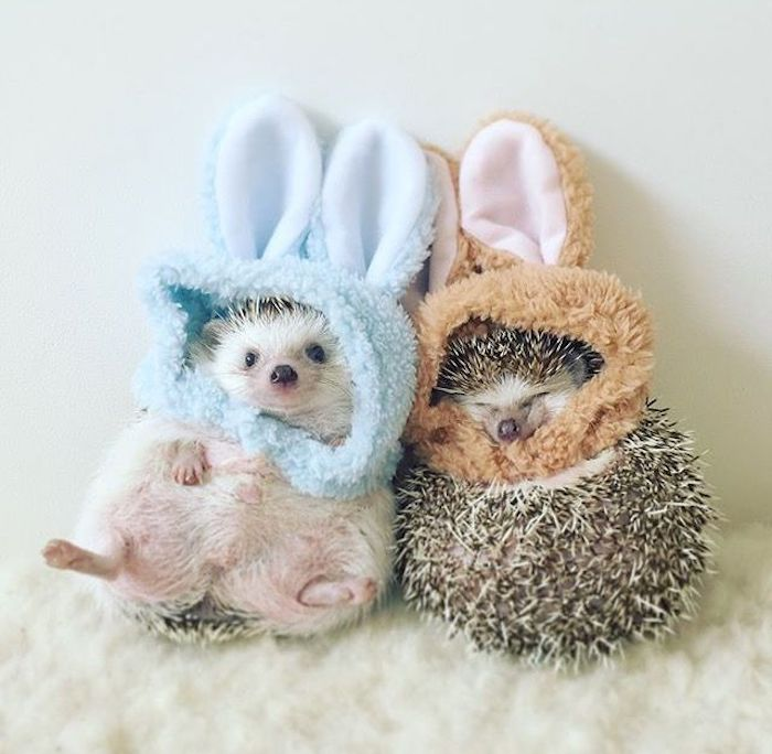 couple of hedgehogs, wearing fluffy pale blue, and light brown plush hats, with bunny ears, pet ideas, fluffy and soft white blanket