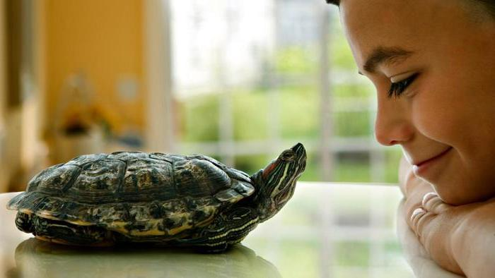 smiling young boy, watching a large red eared water turtle, low maintenance pets, resting on a smooth white surface, near his face