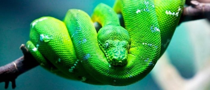 ball python with lime green scales, and white and blue spots, exotic animals as pets, coiled on top of a branch