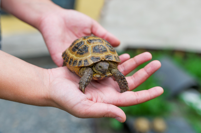 tortoise with yellow and dark brown shell, being held by two hands, low maintenance pets, easy to care for