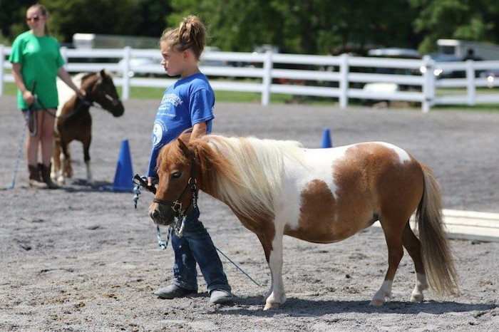 pinto miniature horse, with white and brown coat, and flowing blonde mane, led by a little girl, wearing a blue t-shirt and jeans
