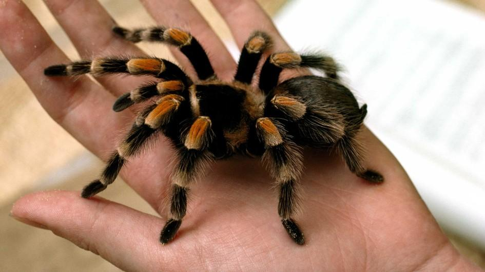 mexican redknee tarantula, with black body, and black and orange legs, exotic animals, resting in the palm of a human's hand