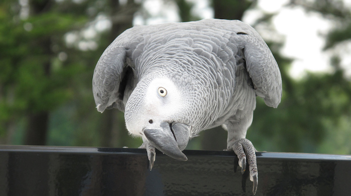 curious african grey parrot, with light gray and white feathers, best exotic pets, perched on a dark, smooth wooden fence
