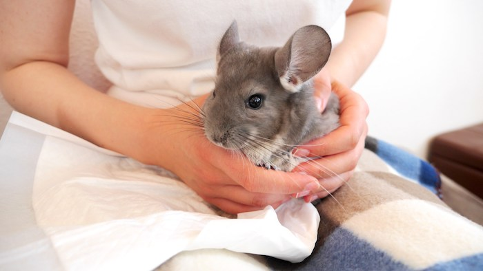 grey adult chinchilla, exotic pets, held in both hands, over a checkered blanket, by a person dressed in white