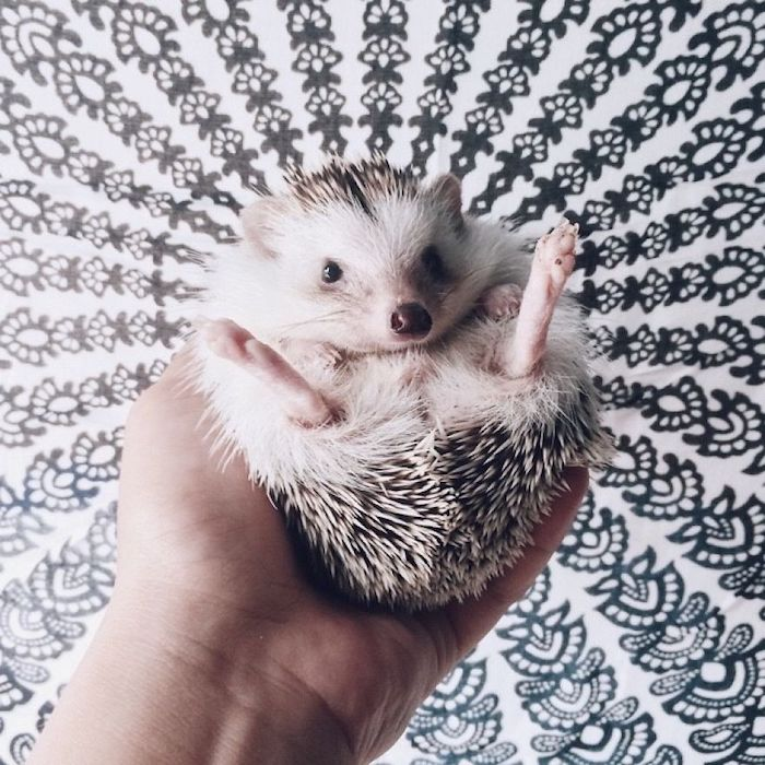 mandala-like black and white wall decoration, hand holds a small hedgehog, with grey and white quills and pink paws, in front of it, low maintenance pets for apartments