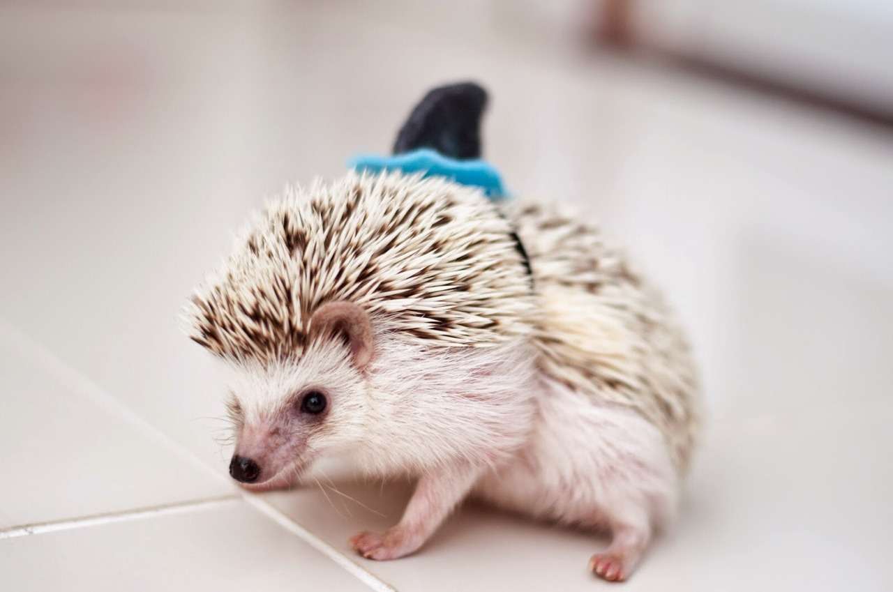 pet ideas, small beige hedgehog, decorated with a tiny black and blue shark's fin, sitting on a white tiled floor