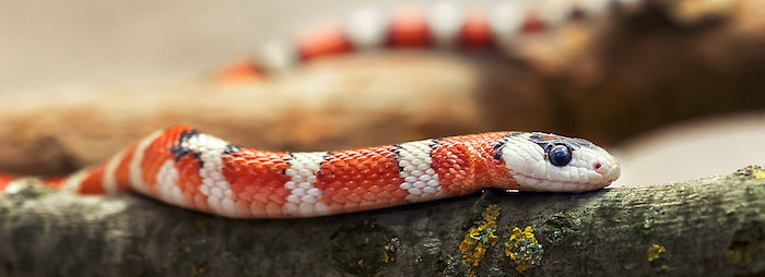 tropical snake with orange and white stripes, black eyes and spots, exotic animals as pets, resting on a lichen-covered branch