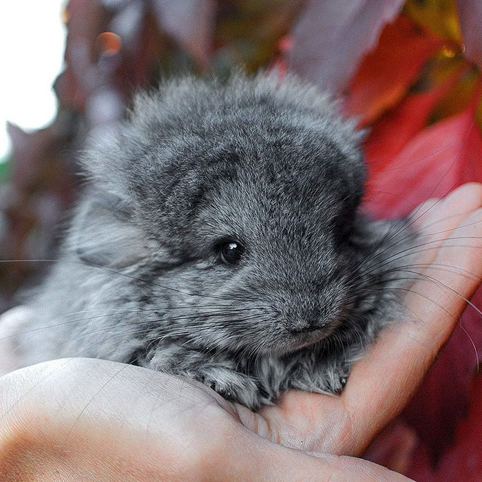 chinchilla young with dark gray fur, held in the palm of a person's hand, exotic pets, cute creatures you can keep at home