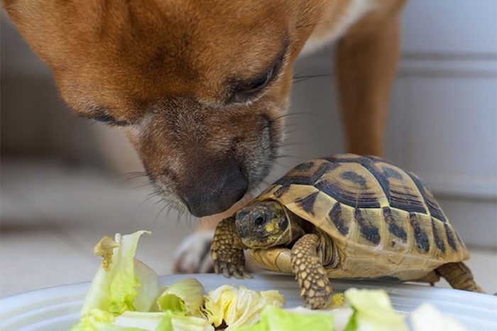 chihuahua dog sniffing a small tortoise, resting on the rim of a white plate, filled with green salad, low maintenance pets