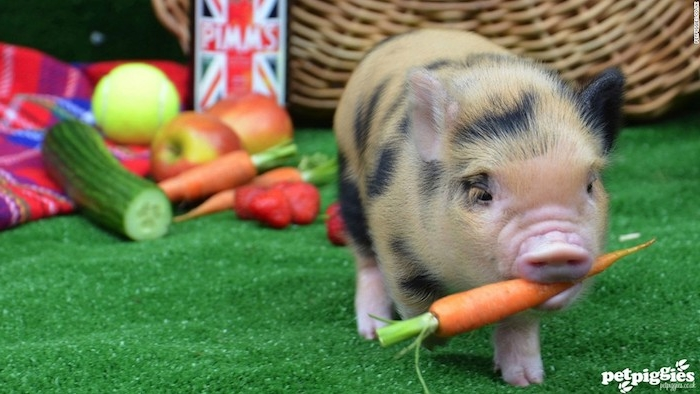 carrot carried by a tiny piglet, with short pale orange and black spotted fur, more vegetables in the background