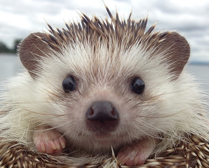 extreme close up of a hedgehog's face, unusual pets, black nose and little black eyes, whiskers and beige-brown quills