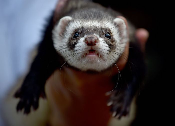 adult ferret looking worried, and held by a human's hand, exotic pets list, white and dark brown fur, seen in close up