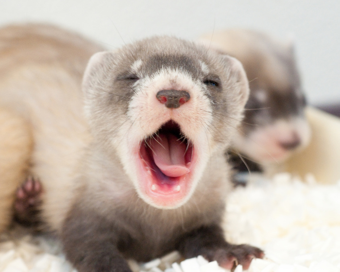 baby ferret yawning, pale gray and light beige fur, exotic pets, lying on a fluffy white blanket, another ferret in the background