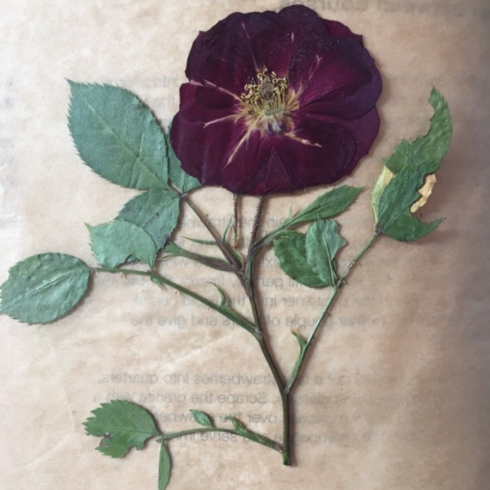 cherry red dried rose, on a stem with torns, and several leaves, placed on a piece of rice paper, dorm wall décor, with pressed flowers